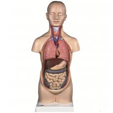 Mini torso modelis, 12 dalių