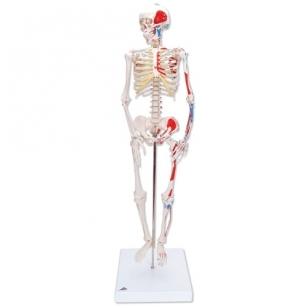 Mini skeleto modelis (pieštais raumenimis; tvirtinimas prie dubens)
