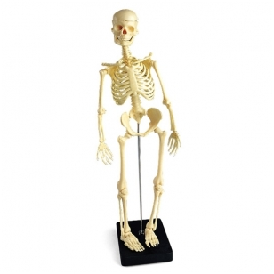 Mini skeleto modelis (su stoveliu)