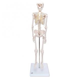 Mini skeleto modelis (su stovu)