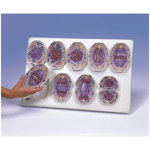 Mitozės modelis