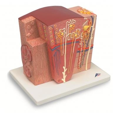 Mikroanatominis inkstų modelis