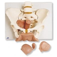 Moters dubens skeleto modelis su lytiniais organais, 3 dalys