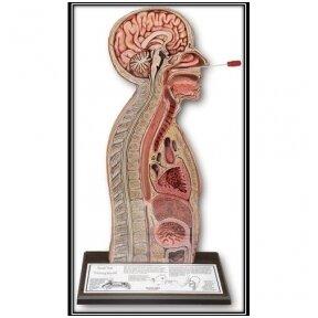 Tepinėlių iš paciento nosiaryklės ir ryklės paėmimo mokymo, nazogastrinės intubacijos modelis
