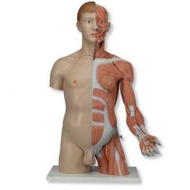Natūralaus dydžio dvilytis torso modelis su raumenimis, 33 dalys 2
