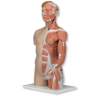 Natūralaus dydžio dvilytis torso modelis su raumenimis, 33 dalys 4