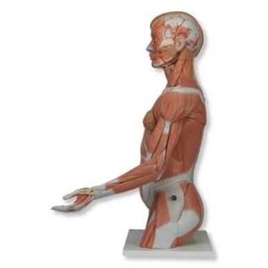 Natūralaus dydžio dvilytis torso modelis su raumenimis, 33 dalys 5