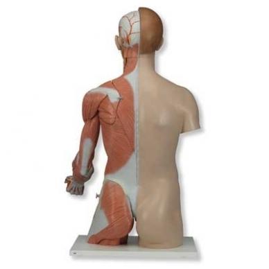 Natūralaus dydžio dvilytis torso modelis su raumenimis, 33 dalys 7
