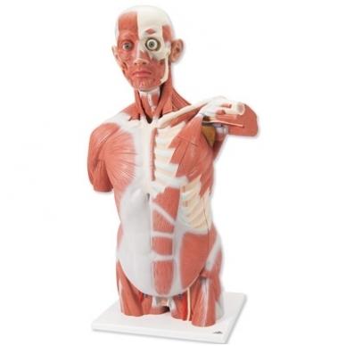 Natūralaus dydžio raumenų torsas, 27 dalys