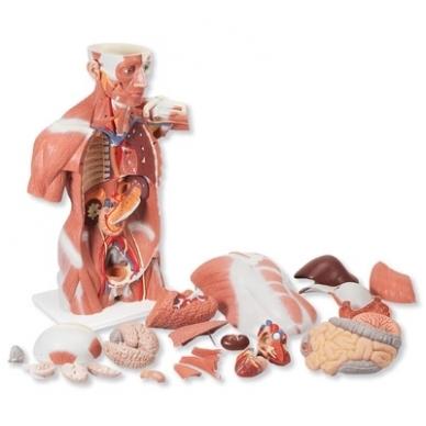Natūralaus dydžio raumenų torsas, 27 dalys 3