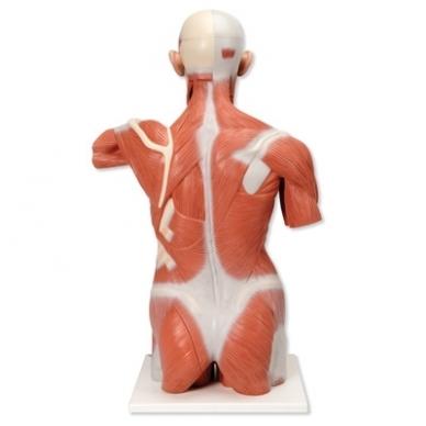 Natūralaus dydžio raumenų torsas, 27 dalys 2