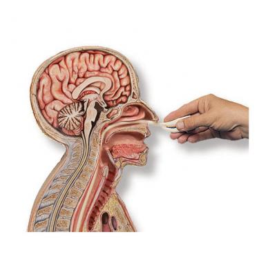 Tepinėlių iš paciento nosiaryklės ir ryklės paėmimo mokymo, nazogastrinės intubacijos modelis 3