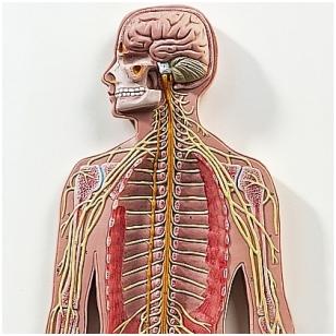 Nervų sistemos modelis, ½ natūralaus dydžio