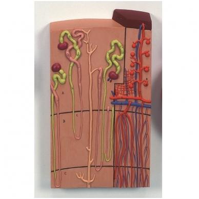 Nefronai ir kraujagyslės (modelis padidintas 120 kartų)