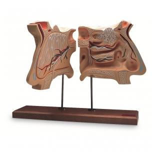 Nosies ir uoslės organo modelis (padidintas 4 kartus)