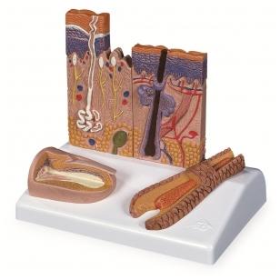 Odos, plaukų ir nagų mikroskopinės struktūros