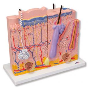 Odos struktūros modelis, 3 dalys