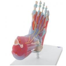 Pėdos skeleto modelis su raiščiais ir raumenimis
