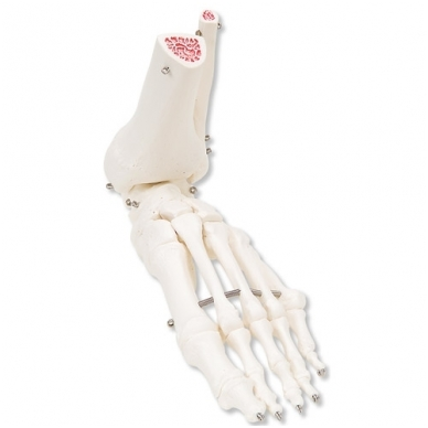 Pėdos ir kulkšnies skeletas
