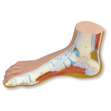 Pėdos modelis