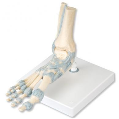 Pėdos skeleto modelis su raiščiais