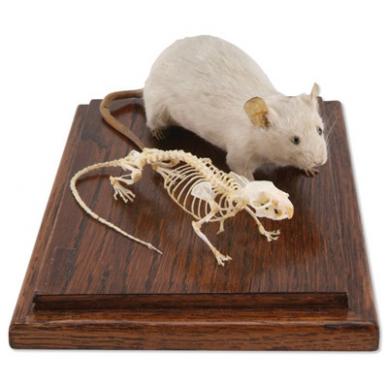 Pelės skeleto ir  iškamšos modelis 2