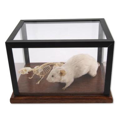 Pelės skeleto ir  iškamšos modelis