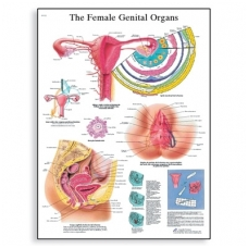 """Plakatas """"Moters lytiniai organai"""""""