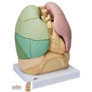 Plaučių modelis (segmentinis)