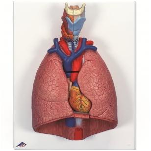 Plaučių su gerklomis modelis, 7 dalys