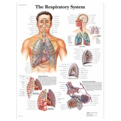 """Plakatas """"Kvėpavimo sistema"""""""