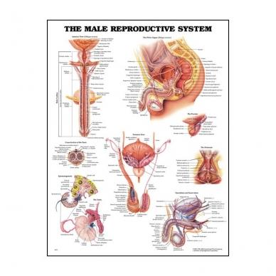 """Plakatas """"Vyro reprodukcinė sistema:"""""""