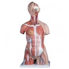 Prabangus dvilytis torso modelis su raumenimis, 31 dalis