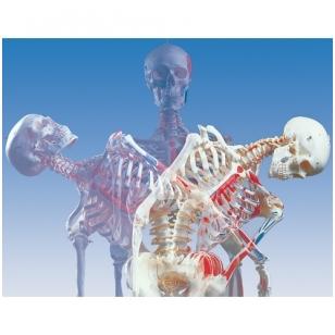 Prabangus žmogaus skeleto modelis