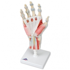 Rankos skeleto modelis su raiščiais ir raumenimis