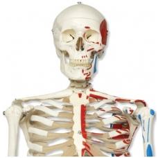 """Raumenų skeleto modelis """"Max"""""""
