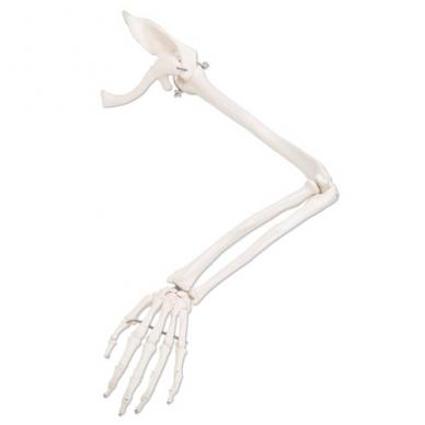 Rankos skeletas su mentikauliu ir raktikauliu