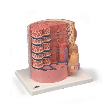 Raumeninių skaidulų modelis