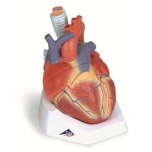 Širdies modelis, 7 dalys