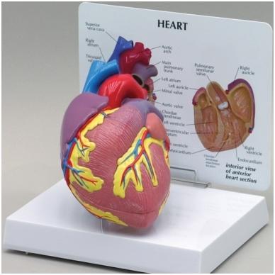 Širdies modelis