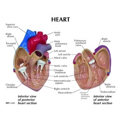 Širdies modelis 2