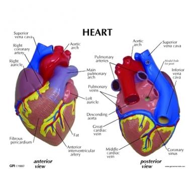 Širdies modelis 3