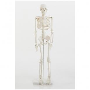 Skeleto modelis, 85 cm.