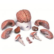 Smegenys su arterijomis, 9 dalys
