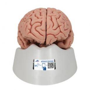 Smegenų modelis, 5 dalys