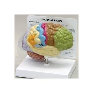 Smegenų pusinis modelis