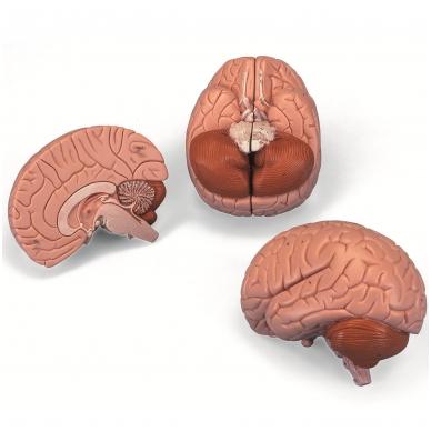 Smegenų modelis, 2 dalys