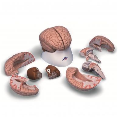Smegenų modelis, 8 dalys