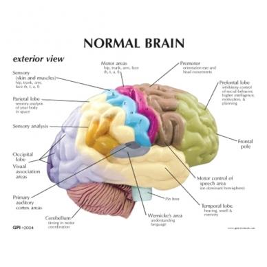 Smegenų pusinis modelis 2