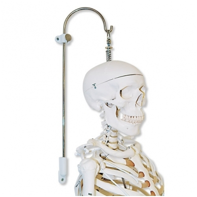 Stuburo ir skeleto modelių stovas, 3 dalys 2